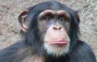 L'uomo deriva davvero dalla scimmia?
